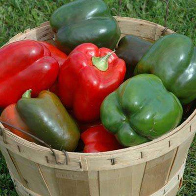Peppers (Lady Bell) - 6 Pack