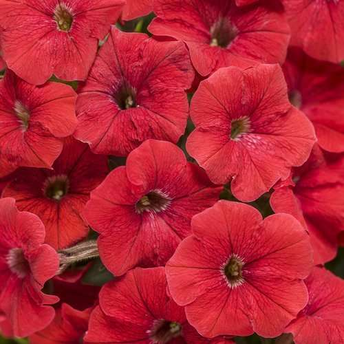 Supertunia 'Really Red'